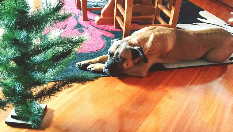 High Angle View Of Bull Mastiff Relaxing By Christmas Tree At Home