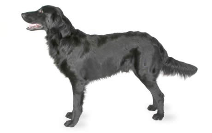 flat-coated-retriever-460x290