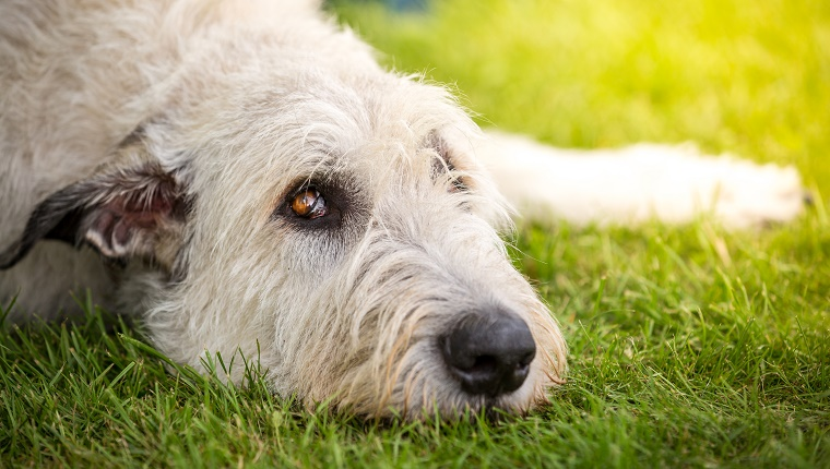 A Light Brown Irish wolfhound lying in a meadow and looking upward.
