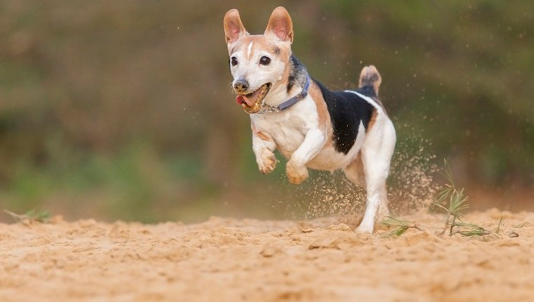 A 12 years old Dwarf Jack Russell Terrier walking on 2 legs on the yellow sand!