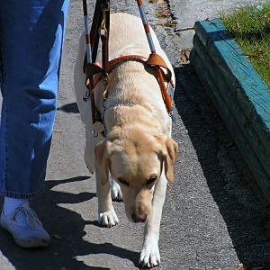 Service Dogs: To pet or not to pet