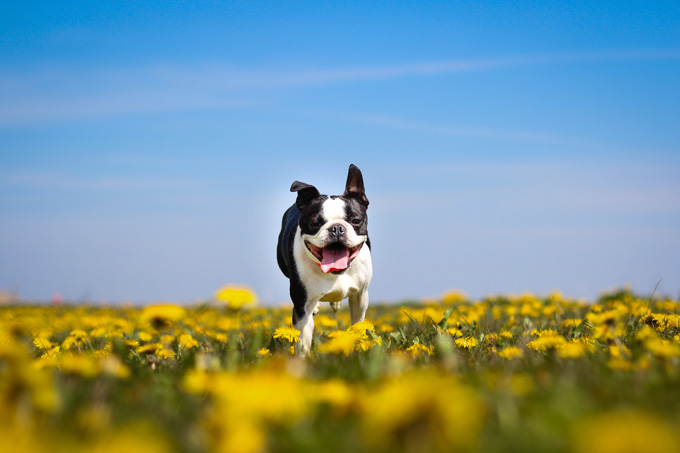 boston terrier dog names boston terrier dog names dogtime 5199