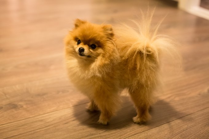 Teacup Pomeranian Dog Names - Dogtime