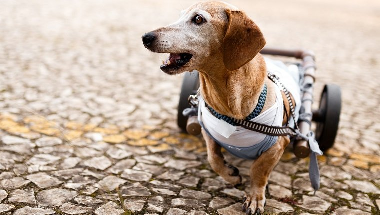 Paraplegic dachshund senior dog