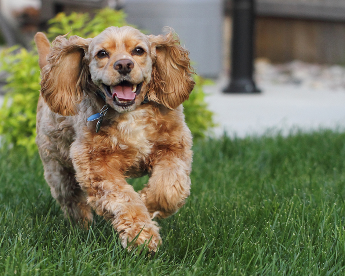 Action photo of smiling buff-colored American Cocker Spaniel dog running outdoors in natural sunlight with bright green foliage in background.