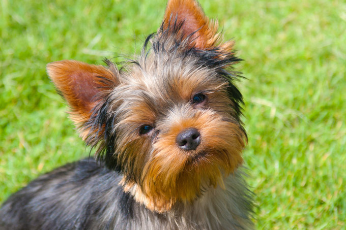 Best Yorkshire Terrier Dog Names Bydogtime Picture Credit Getty Images