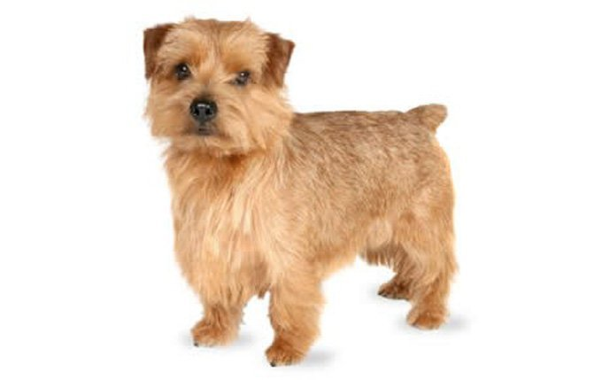 12-small-dogs-norfolk-terrier
