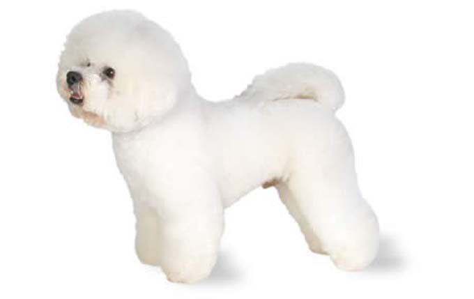 2-small-dogs-bichon-frise