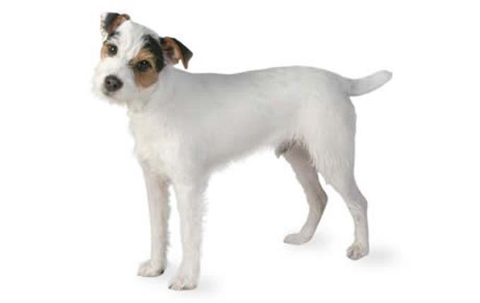 high-energy-small-dog-jack-russell-terrier
