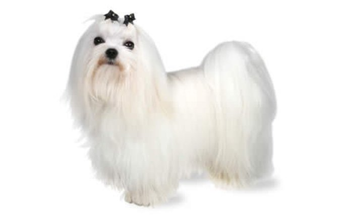 maltese-dog-breed