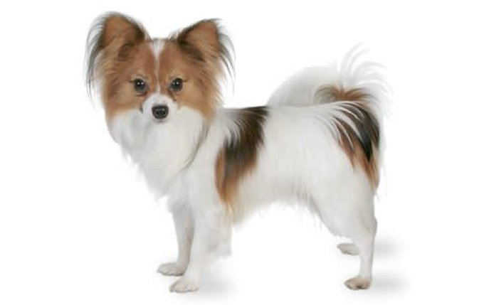 papillon-dog-breed