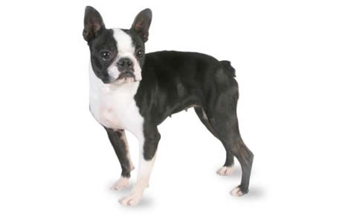 small-dogs-boston-terrier