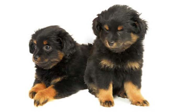 yorkipoo-small-dogs