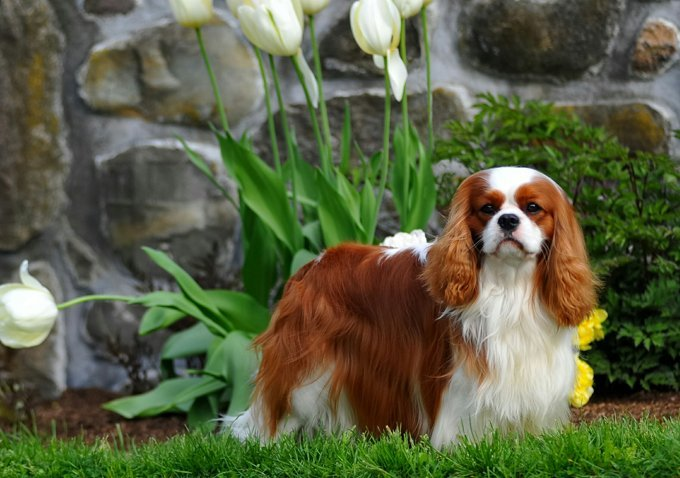 Cavalier King Charles Spaniel Standing On Field