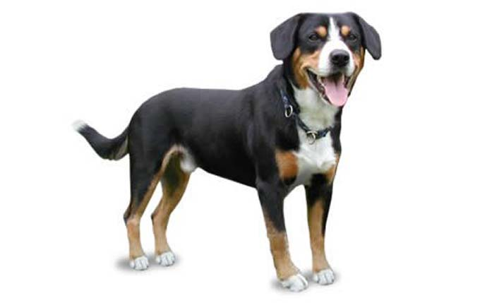 entlebucher-mountain-dog
