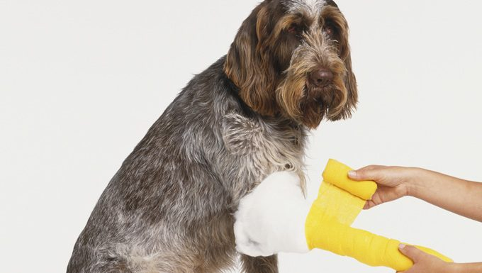 dog getting gauze to control bleeding
