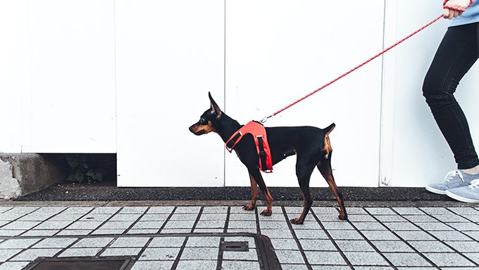 pinscher dog walking on leash