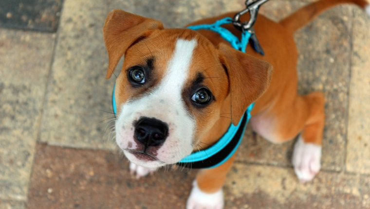 A young pit bull puppy wearing a blue harness.
