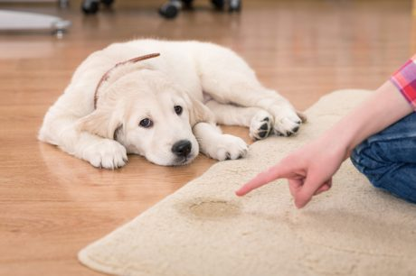 The Best Way to Clean Up After Your Dog's House-Soiling Accidents