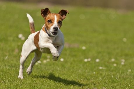 Jack Russell Terrier dog names