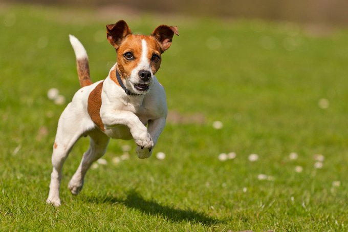 Tips for Jack Russell Training