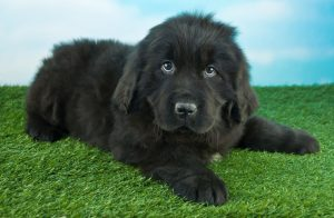 Newfoundland Dog Names