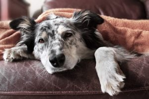Canine Cancer: Intracranial Neoplasia