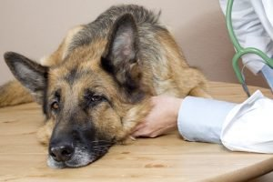 Canine Cancer: Urinary Bladder Cancer