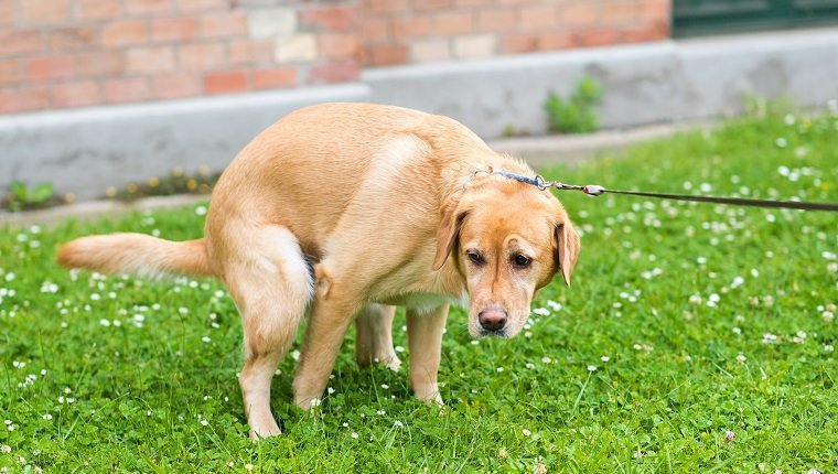Prostate Cancer In Dogs: Symptoms, Causes, & Treatments