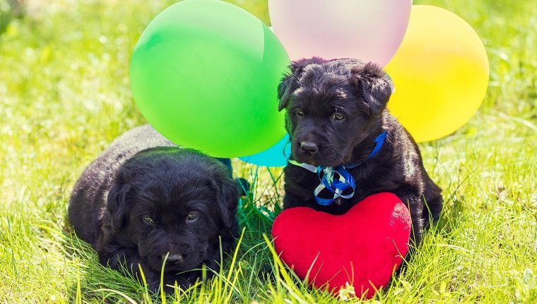 Two little Labrador retriever puppies with toy heart and colorful balloons. Dogs sitting outdoors on the grass in summer