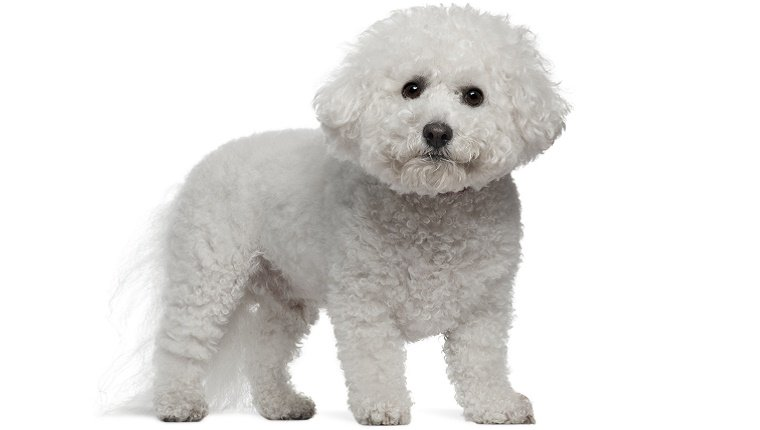 A white Bichon Frise stands in front of a white background.