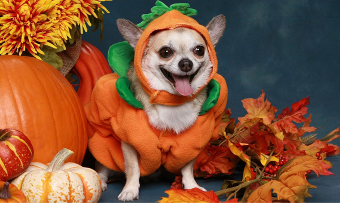 Image result for halloween pets costumes pumpkins