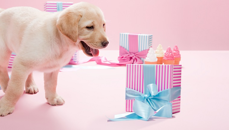 Labrador puppy and gifts