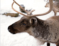 From reindeer games to reindeer as game: an unpleasant truth
