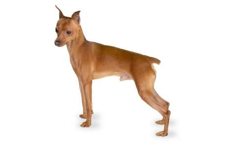 file_22530_miniature-pinscher