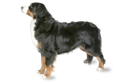 Bernese Mountain Dog Breed Information Pictures Dogtime