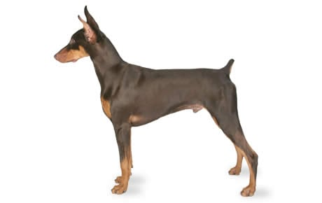 1 year old red doberman
