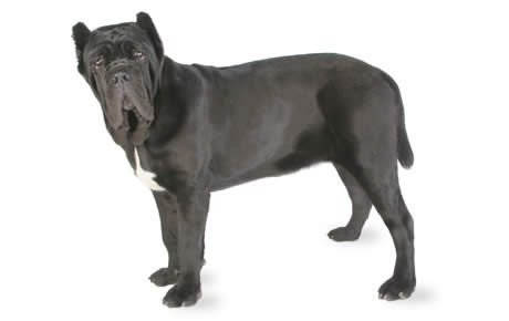 Neapolitan Mastiff Dog Breed Information, Pictures, Characteristics