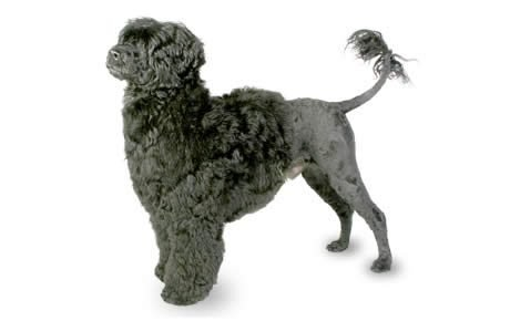 Portuguese Water Dog Breed Information, Pictures