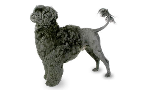 Portuguese Water Dog Breed Information, Pictures ... American Water Spaniel Dogtime
