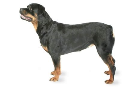 Rottweiler Dog Breed Information, Pictures, Characteristics & Facts