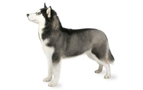 Siberian Husky Dog Breed Information, Pictures