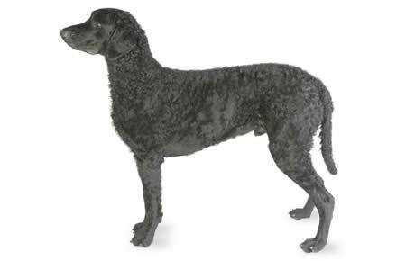Curly-Coated Retriever Dog Breed Information, Pictures
