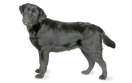 Labrador Retriever Dog Breed Information, Pictures, Characteristics