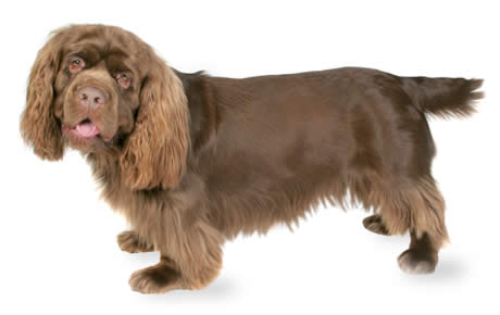 Sussex Spaniel Dog Breed Information Pictures