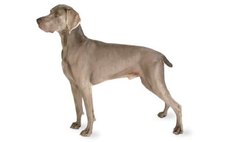 Weimaraner Dog Breed Information Pictures Characteristics Facts