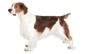 Welsh Springer Spaniel
