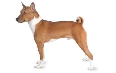 Basenji Dog Breed Information, Pictures, Characteristics & Facts