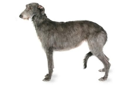 Scottish Deerhound Dog Breed Information, Pictures