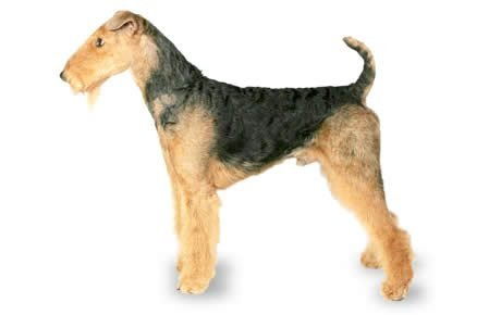 Airedale Terrier Dog Breed Information, Pictures